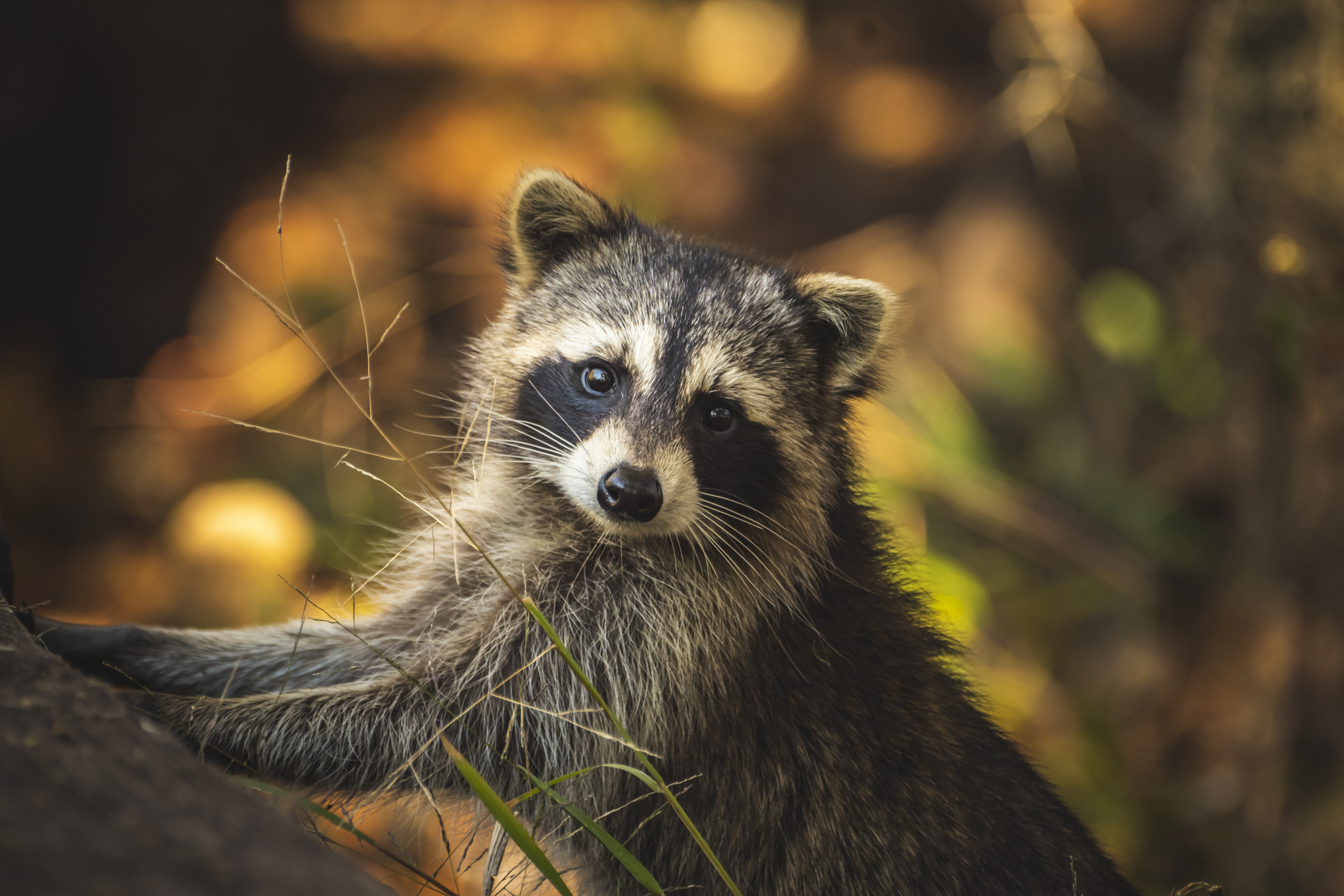 """""""Raccoon Stealer"""" Malware Is Capable of Pilfering Your Cryptocurrency Wallets"""