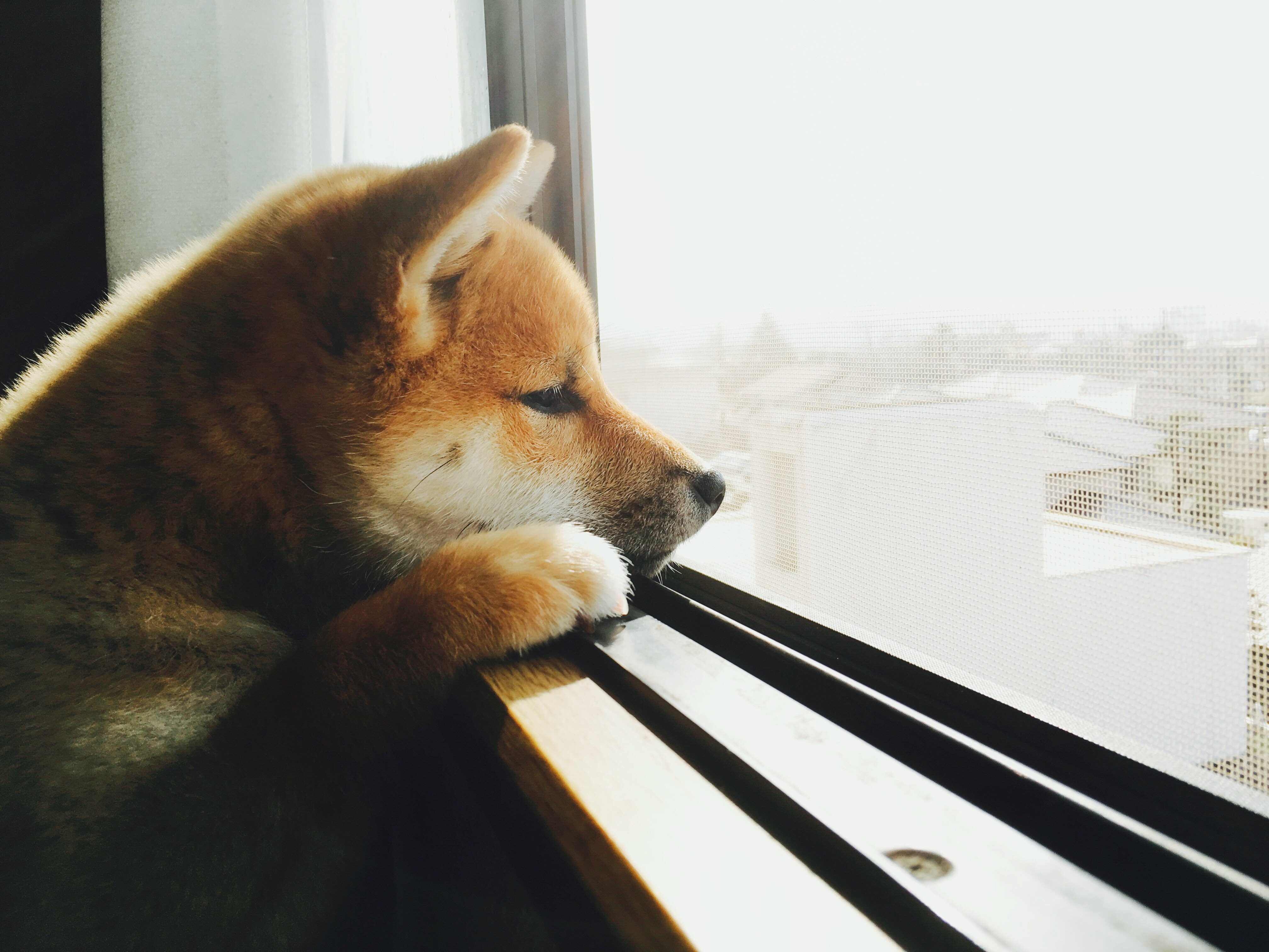 Shiba Inu Plunges Almost 40 Percent in Hours