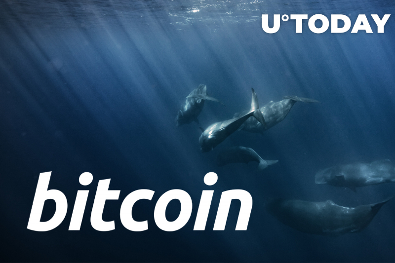 Number of Large Daily Bitcoin Transfers Soars as Whales Keep Buying the Dip